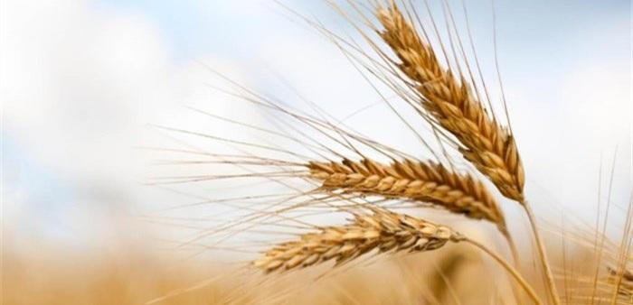 افزایش عملکرد تولید گندم