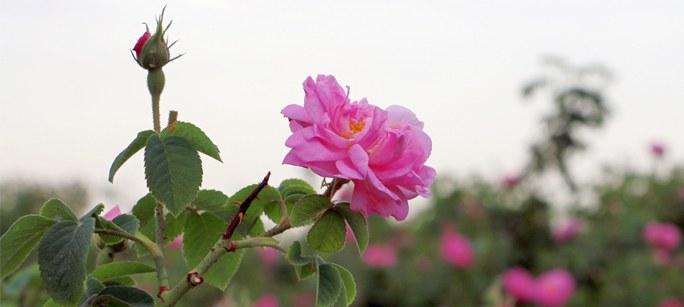 کاشت، داشت و برداشت گل محمدی