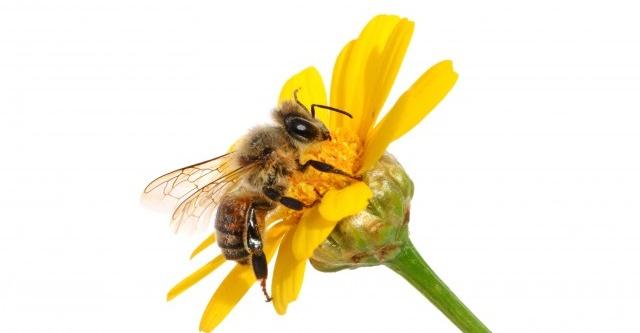 گرده افشانی درختان میوه توسط زنبور عسل